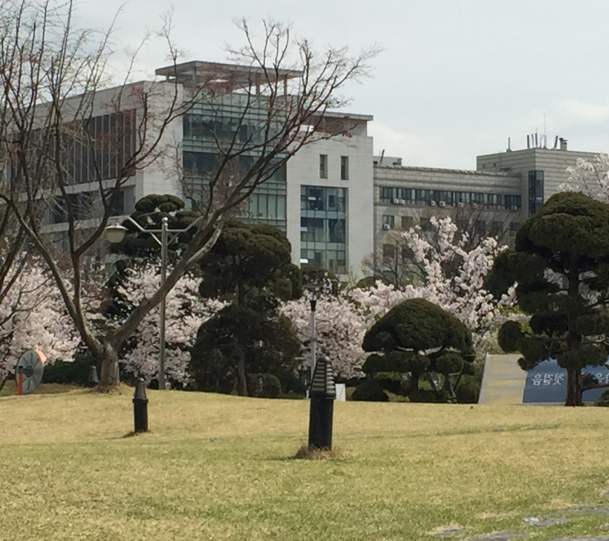 Hankuk University Cherry Blossoms